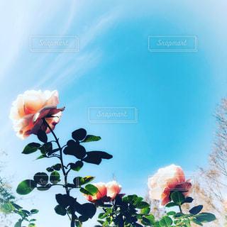 青空とピンクのバラの写真・画像素材[1795973]