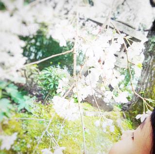 花,桜,ピンク,花見,女の子,サクラ,お花見,横顔,幼児,桜の花,ほっぺ
