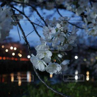 近くの桜の花のアップと玉ボケの写真・画像素材[1876109]