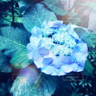 雫がついた紫陽花クローズアップの写真・画像素材[2201102]