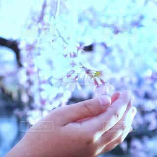 花,桜,屋外,ピンク,手,人,桜の花,ブロッサム