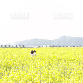 菜の花畑の写真・画像素材[4295396]