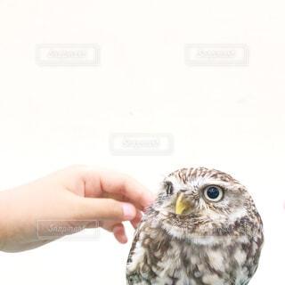 フクロウの上に座っている鳥の写真・画像素材[4299974]