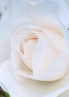 花,バラ,白い花,薔薇,ホワイト,しろ,白バラ