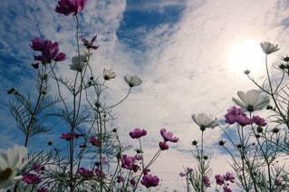 花,コスモス,鮮やか,複数,菊