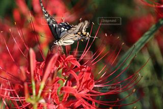 彼岸花  花  蝶々