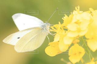 花,菜の花,昆虫,蝶,モンシロチョウ