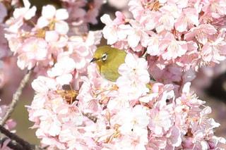 花,桜,鳥,河津桜