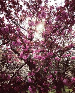 ピンク,梅,景色,樹木,草木