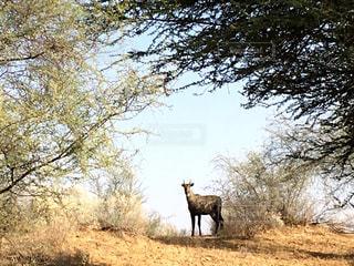 風景,動物,野生動物,景色,観光,旅行,砂漠,インド,海外旅行,ラジャスタン,ニルガイ,ジョドプル