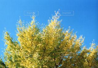 空,秋,紅葉,屋外,黄色,イチョウ,草木