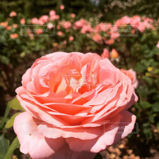 自然,公園,屋外,ピンク,薔薇,イギリス,ロンドン,リージェントパーク