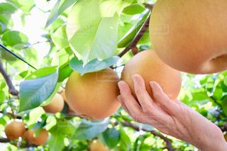 秋,緑,黄色,梨,果実,実りの秋,食欲の秋,なし,梨狩り