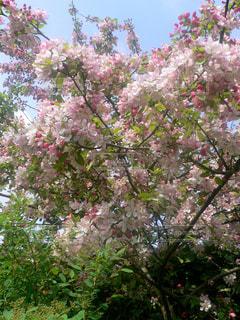 花,桜,屋外,ピンク,サクラ,満開,お花見,さくら,たわわ