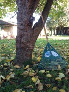 庭の枯葉を熊手で掃除の写真・画像素材[1515464]