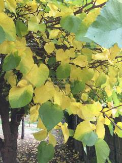 秋の木の葉の写真・画像素材[1565918]