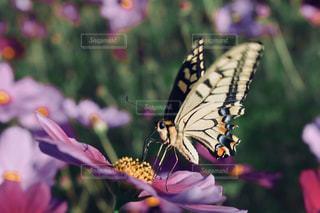 花,コスモス,カラフル,鮮やか,蝶々,草木