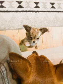 犬,動物,チワワ,室内,見上げる,未来,可愛い,子犬,仔犬,夢,成長,見下ろす,一生懸命,ポジティブ,パピー,じゃれる,目標,前向き,大きくなる