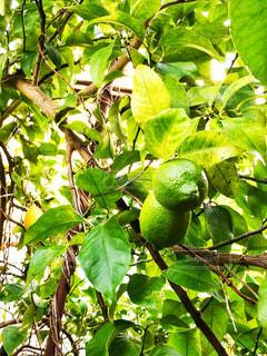 レモン,新鮮,レモンの木,熟成前