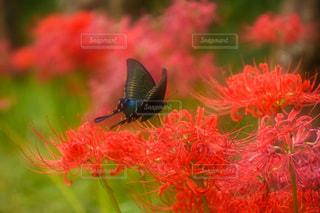 秋,植物,彼岸花,蝶