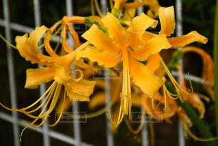 秋,黄色,彼岸花,曼珠沙華