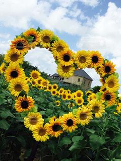花,ひまわり,かわいい,ハート,ひまわり畑