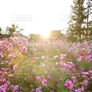 秋,夕日,コスモス,夕焼け,光,黄昏,奈良,White,秋空,pink,Orange,cosmos
