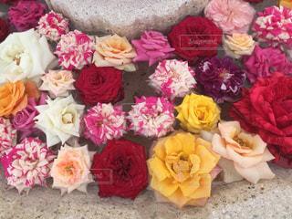 いろいろなバラの写真・画像素材[1545985]
