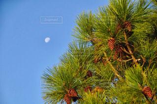 風景,空,秋,屋外,散歩,樹木,秋空,まつぼっくり