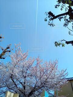 サクラと飛行機雲の写真・画像素材[4301980]