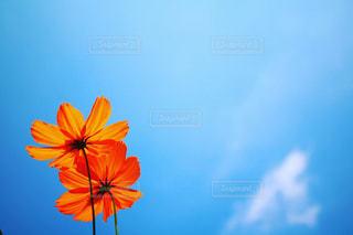 風景,空,花,秋,雲,青空,土手,キバナコスモス,秋空