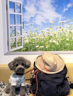 犬,散歩,麦わら帽子,旅,トイプードル