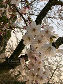 春,桜,綺麗,夕暮れ,夕方,景色,お花見,さくら