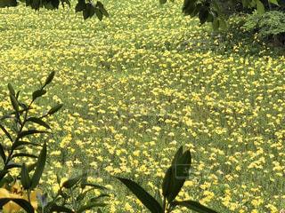 花,黄色,鮮やか,イエロー,百合,黄色い,yellow,ゆりの花