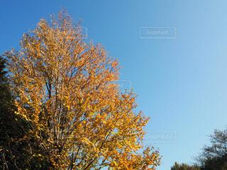秋,紅葉,黄色,秋空