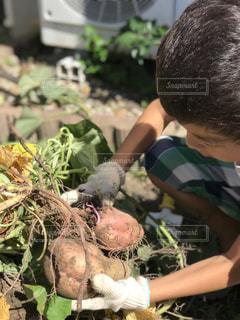 秋,屋外,子供,野菜,人物,家庭菜園,男の子,収穫,さつまいも,食材,軍手,草木,芋掘り,安納芋