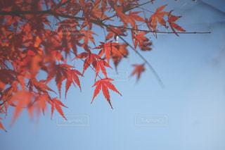 空,秋,紅葉,青,樹木,草木,カエデ