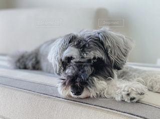 ベッドに横たわる灰色と白の犬の写真・画像素材[2507352]
