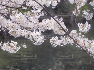 花,春,屋外,ピンク,水面,水辺,池,樹木,桜の花,さくら,ブロッサム