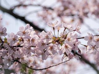 春,桜,桜の花,さくら,ブロッサム