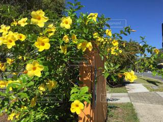 花,綺麗,フラワー,黄色,鮮やか,道,オーストラリア,通り,ゴールドコースト,yellow,キレイ