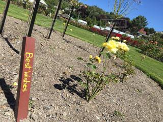 花,フラワー,黄色,バラ,ローズ,ニュージーランド,yellow