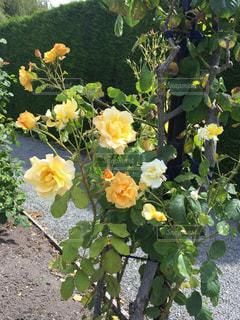花,綺麗,フラワー,黄色,バラ,鮮やか,ローズ,ニュージーランド,yellow,キレイ