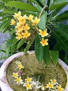 花,南国,フラワー,黄色,鮮やか,バリ島,インドネシア,プルメリア,yellow