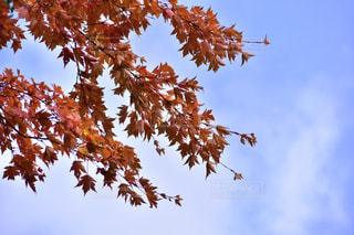 風景,秋,紅葉,もみじ,景色,旅行,秋空,カエデ