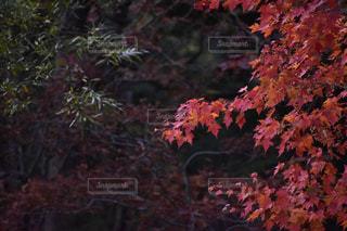 風景,秋,紅葉,もみじ,景色,樹木,旅行,秋空,カエデ