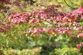 風景,空,花,紅葉,森林,もみじ,景色,樹木,旅行,秋空,カエデ