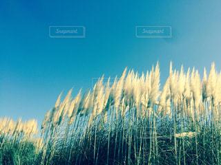 空,秋,ススキ,茨城,金色,国営海浜公園