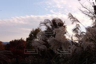 自然,空,秋,木,植物,雲,夕暮れ,夕方,山,秋空,すすき
