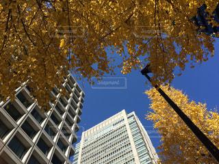 晴天,丸の内,秋空,青と黄,イチョウの木